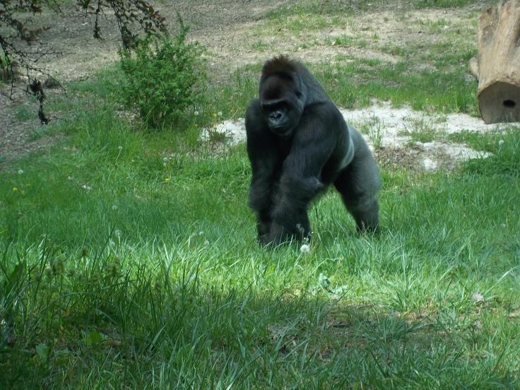 bantu-gorilla