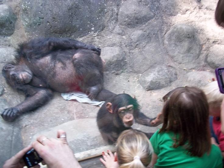 chimp-001