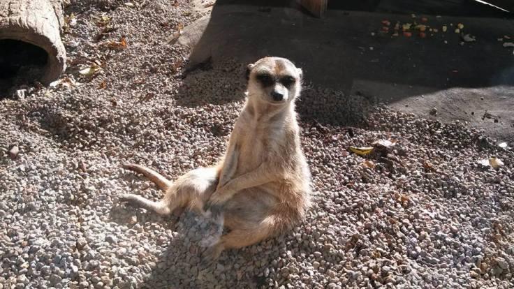 meerkat-002